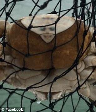 澳洲出现人面螃蟹 长相酷似麦可杰克森