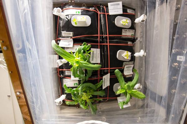 ▲国际太空站也有种植百日草。(图/NASA)